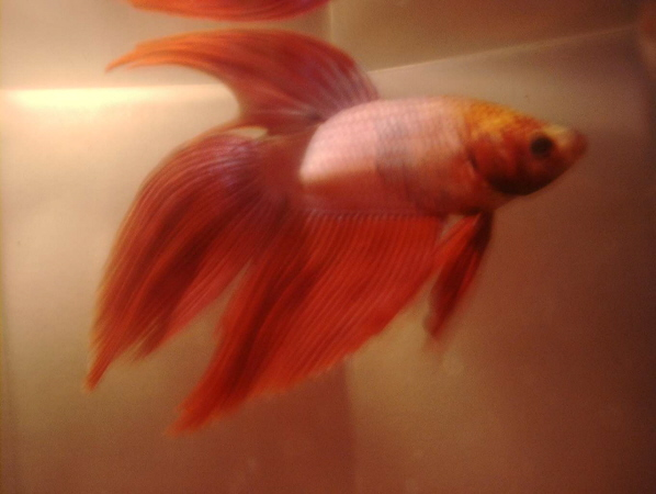 The cichlid writer betta classification for What fish are compatible with betta fish