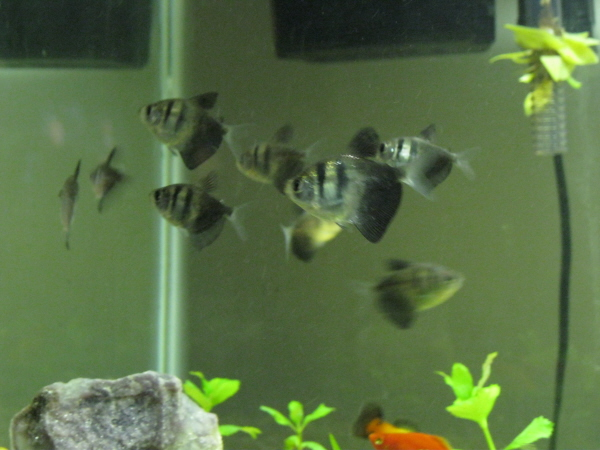 The Cichlid Writer Black Skirt Tetra Compatibility